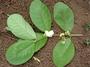 Myrtaceae - Psidium guineense