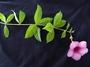 Apocynaceae - Allamanda blanchetii