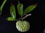 Annonaceae - Annona squamosa