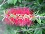 Myrtaceae - Callistemon citrinus