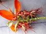 Fabaceae - Erythrina variegata