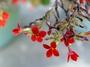 Crassulaceae - Kalanchoe blossfeldiana