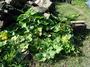 Cucurbitaceae - Cucurbita maxima