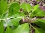 Rubiaceae - Psychotria mumfordiana