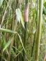 Poaceae - Schizostachyum glaucifolium