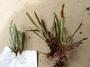 Polypodiaceae - Grammitis cincta