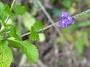 Verbenaceae - Stachytarpheta cayennensis
