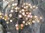 Trimeniaceae - Trimenia marquesensis