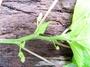 Urticaceae - Laportea interrupta