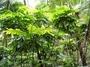 Sapindaceae - Pometia pinnata