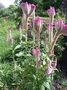 Amaranthaceae - Celosia argentea