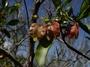 Sapindaceae - Dodonaea viscosa