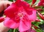 Apocynaceae - Nerium oleander