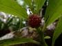 Urticaceae - Procris pedunculata