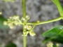 Anacardiaceae - Spondias dulcis