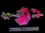 Myrtaceae - Syzygium malaccense