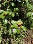 Dipentodontaceae - Perrottetia sandwicensis