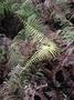 Gleicheniaceae - Diplopterygium pinnatum
