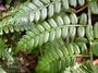 Marattiaceae - Marattia douglasii