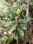Pittosporaceae - Pittosporum gayanum