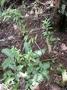 Piperaceae - Peperomia hesperomannii