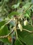Elaeocarpaceae - Elaeocarpus bifidus