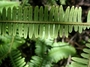 Gleicheniaceae - Sticherus owhyhensis