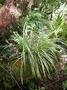 Asteliaceae - Astelia argyrocoma