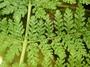 Athyriaceae - Athyrium microphyllum