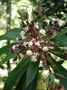 Asteraceae - Dubautia raillardioides