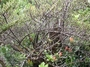 Loganiaceae - Labordia waialealae