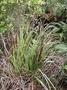 Cyperaceae - Gahnia beecheyi
