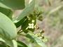 Santalaceae - Santalum ellipticum