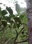 Rubiaceae - Psychotria hexandra var. hexandra