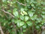Primulaceae - Myrsine alyxifolia