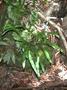 Dryopteridaceae - Elaphoglossum wawrae