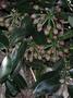 Araliaceae - Polyscias waialealae