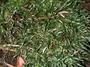 Polypodiaceae - Adenophorus tenellus