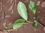 Rubiaceae - Psychotria greenwelliae