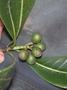 Rubiaceae - Psychotria mariniana