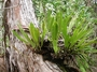 Dryopteridaceae - Elaphoglossum aemulum