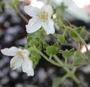 Loasaceae - Plakothira parviflora
