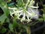 Rubiaceae - Kadua cordata subsp. remyi