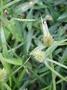 Cyperaceae - Cyperus brevifolius