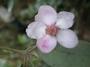 Myrtaceae - Rhodomyrtus tomentosa