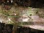 Polypodiaceae - Lepisorus thunbergianus