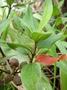Melastomataceae - Melastoma septemnervium