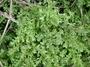 Urticaceae - Pilea microphylla