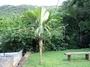 Arecaceae - Pelagodoxa henryana