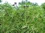 Araliaceae - Polyscias fruticosa